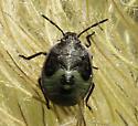Hemiptera - Chlorochroa