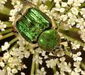 Scarab beetle ID - Trichiotinus lunulatus