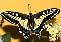 Anise Swallowtail, Papilio zelicaon nitra, gothica form - Papilio zelicaon - male