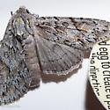 Andropolia aedon