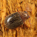 Byrrhodes sp.  - Byrrhodes incomptus