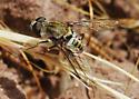 Orange County Bee Fly Archives - Golden Girl - Aphoebantus interruptus - female