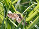 Moth at Tatum Park - Caenurgina crassiuscula