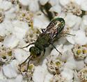 Green Metallic Wasp - Chrysura