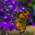Pearl Crescent Butterfly? - Phyciodes cocyta