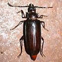 Beetle - Derobrachus hovorei - female