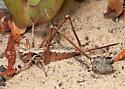 Idiostatus aequalis - female