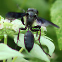 Blue-black thread-waisted wasp - Isodontia