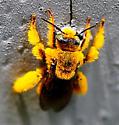 Golden bee - Dieunomia