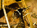 Bee Fly - Bombylius pygmaeus