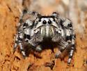 - - Phidippus adumbratus - male