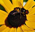 Some kind of (beautiful) fly. - Eristalis transversa