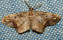 Unknown Moth - Hypagyrtis unipunctata - male