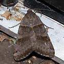 Moth 809-01 - Caenurgina crassiuscula