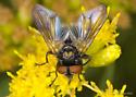 Batman Fly - Phasia aurulans - male