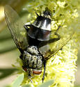 Tachinidae - Chetogena - male