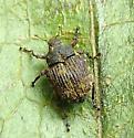 Weevil - Acanthoscelidius curtus