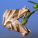 Plagiomimicus tepperi - male - female