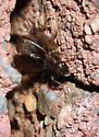Eunemobius carolinus - male