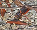 Wasp - Sphex jamaicensis - female
