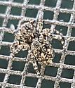 Spider - Attulus pubescens