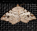 Macaria - Macaria granitata