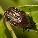 Dark Flower Scarab Beetle - Euphoria sepulcralis