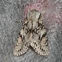 Egira sp - Egira simplex