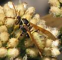 Wasp - Polistes aurifer - male