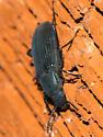 A beetle ... - Xylopinus saperdoides