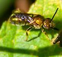 Metallic Bee 1 - Halictinae?