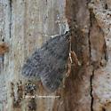 Moth - Scoparia penumbralis