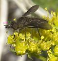 Fuzzy-Muzzled Bombyliid - Conophorus melanoceratus - male