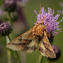 Moth - Pyrrhia exprimens