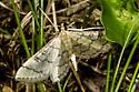 one of many similar small moths - Blepharomastix ranalis