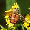 tachinid fly - Hystricia abrupta