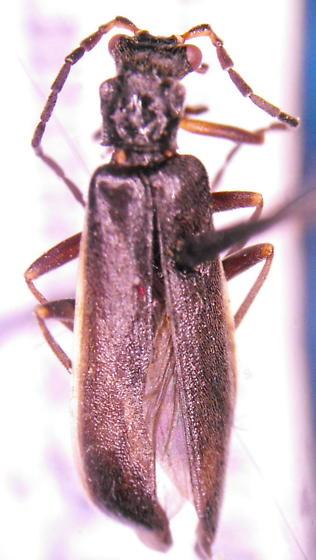 Cantharid (?) - Dichelotarsus extremus
