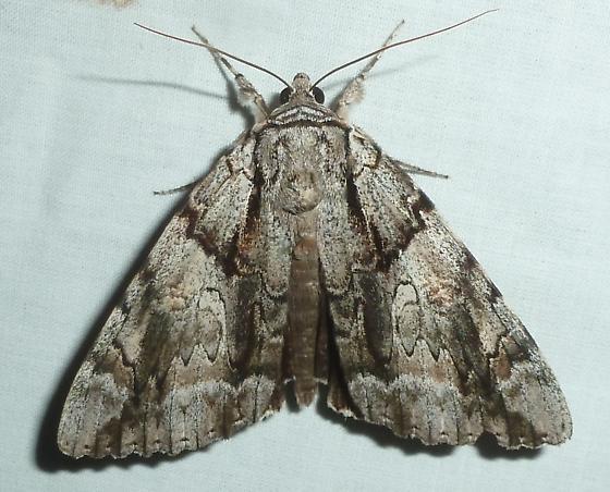 unknown AR moth #15 - Catocala vidua