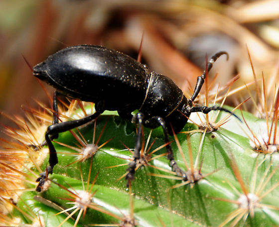 beetle on cactus - Moneilema gigas