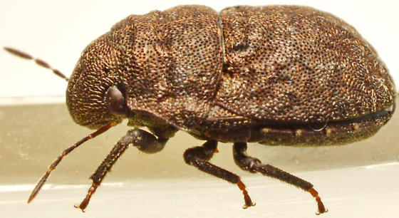 20160927BOk01 - Acantholomidea porosa