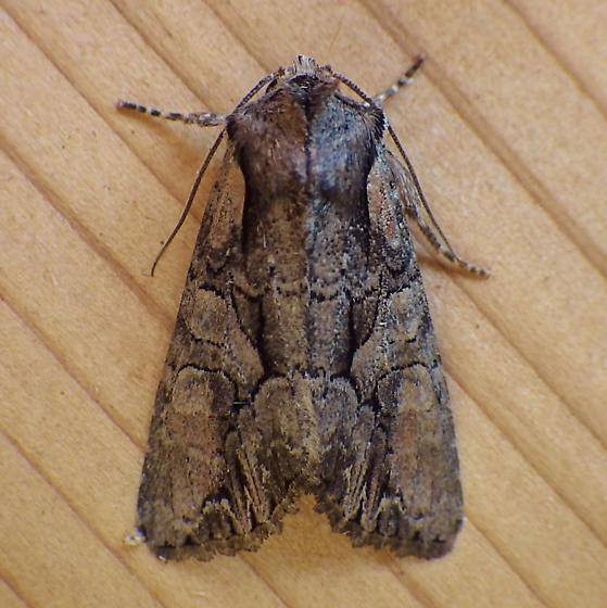 Noctuidae: Lacanobia subjuncta - Lacanobia subjuncta
