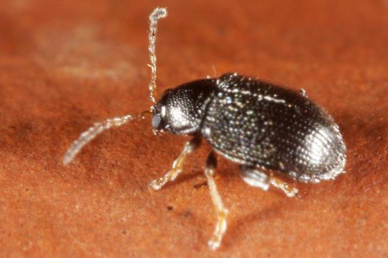 Tiny beetle - Epitrix tuberis