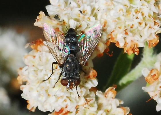 Flies visiting buckwheat...and searching for IDs (The Second) - Chetogena