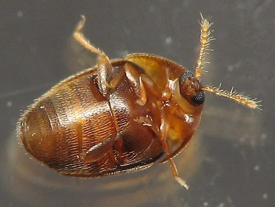 1.25mm Beetle - Sericoderus