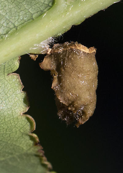 insect pupa case