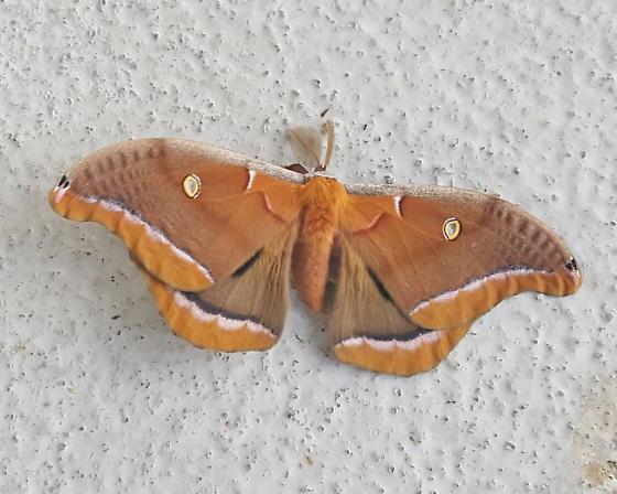 Polyphemus Moth - Hodges#7757 - Antheraea polyphemus - male