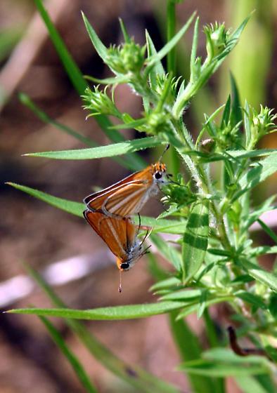 Southern Skipperling - Copaeodes minima - male - female