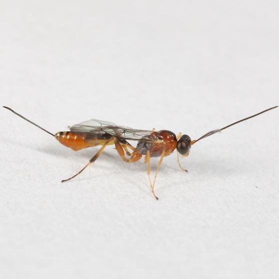 Parasitoid of witch hazel leafroller - Pristomerus euryptychiae - female