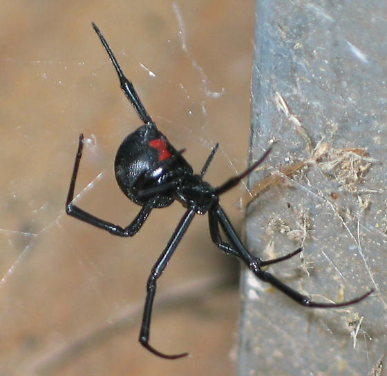 Black Widow - Latrodectus mactans - female