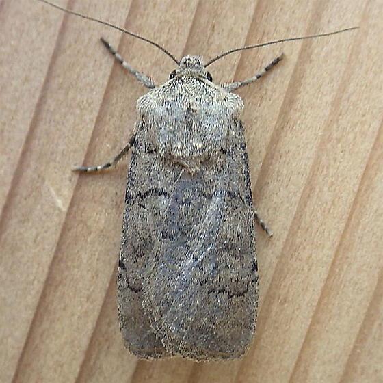 Noctuidae: Euxoa bifasciata - Euxoa bifasciata